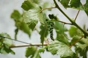 How to Prune a Grape Vine Pruning