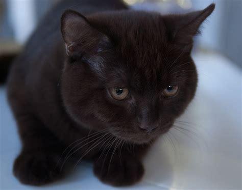 Britų katinas   MyPets.lt