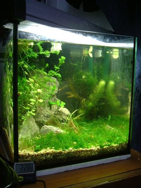 Aquascape Shrimp Tank by Blue Ramshorns Thread 1ft Cube Endlers And Shrimp Tank