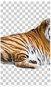 Siberian Tiger Bengal Tiger Felidae Malayan Tiger White ...