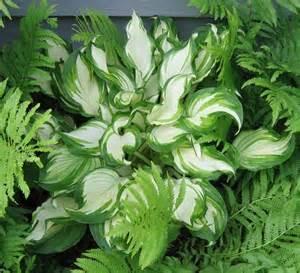 shade hostas hostas and ferns for shade garden pinterest