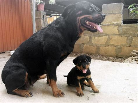 baby rottweiler   play   parents