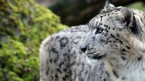 snow leopard pictures weneedfun