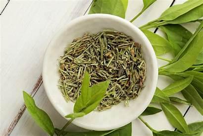 Tea Plant Plants Growing Tree Garden Shrub