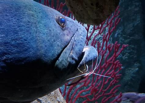 grouper shrimp mouth fish