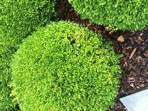 Ersatzpflanze Für Buchsbaum : buxus buchsbaum vom buchsbaumz nsler befallen welche ~ Michelbontemps.com Haus und Dekorationen