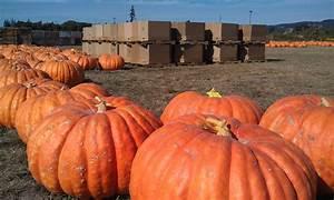 Giant, Pumpkins