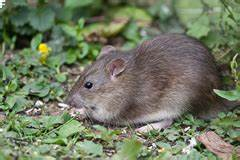 Ratten Bekämpfen Im Garten : ratten im garten bek mpfen ~ Michelbontemps.com Haus und Dekorationen