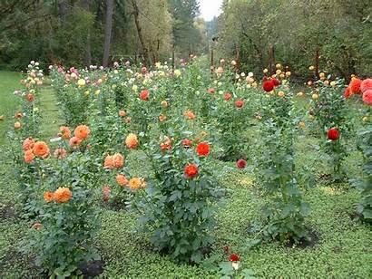 Garden Dahlia Dahlias Squash Hills Four