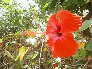 Comment Reconnaitre Un Hibiscus D Intérieur Ou D Extérieur : hibiscus plante pivoine etc ~ Dallasstarsshop.com Idées de Décoration