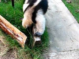 anteater eating ants - YouTube