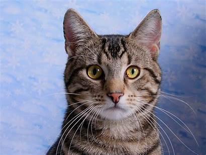 Cat American Domestic Shorthair Cats English Catsincare