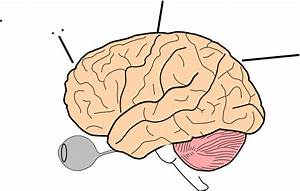 Brain Anatomy Clip Art at Clker.com - vector clip art ...