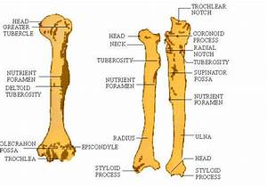 Radial Notch Of Ulna Articulates With