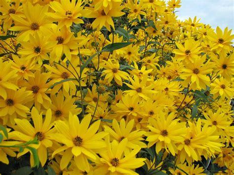 stauden sonnenblume helianthus atrorubens