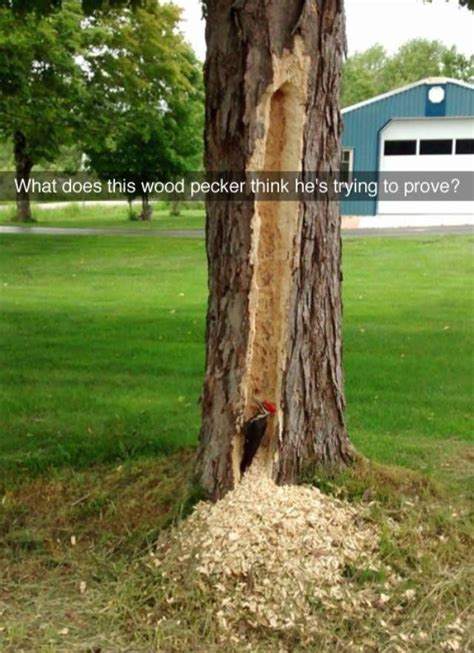 woodpecker pranks what does this woodpecker think he s trying to prove real pictures animales animales