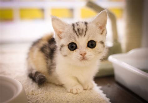 munchkin cats munchkin kitten lightroomで編集した猫写真 utata flickr