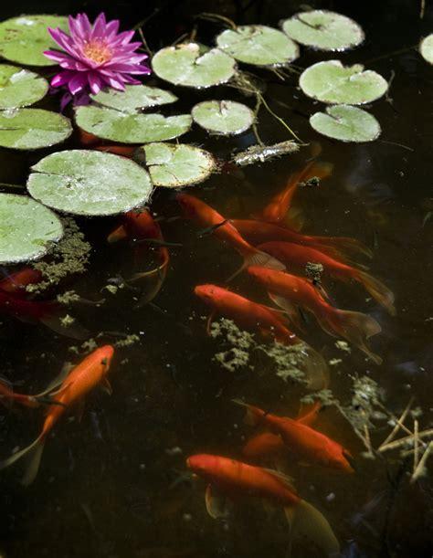 Garden Goldfish by 5 Goldfish Varieties For Your Water Garden