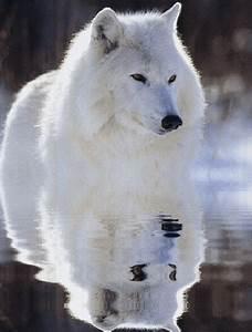 Bébé Loup Blanc : les b b chien loup le loup blanc l 39 ours le chien le ~ Farleysfitness.com Idées de Décoration