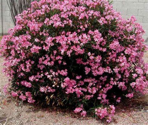 waspada inilah contoh  jenis tanaman hias beracun