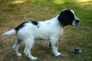 Black & White Male English Springer Spaniel   Stroud ...