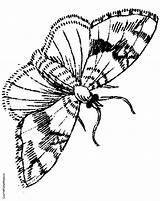 Moth Coloring Pages Jungle Colouring Drawing Google Coloringpages4kids Insects sketch template