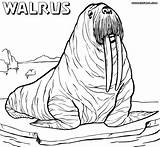Walrus Coloring Pages Realistic Drawing Sheet Printable Draw Animal Drawings Getdrawings Colorings Designlooter sketch template