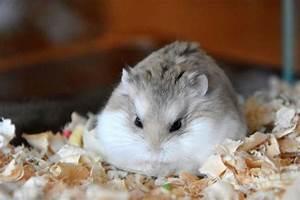 Robi #roborovski #dwarf #hamster #cute :) | ♡ Cute ...