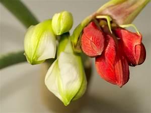 Amaryllis Im Glas : amaryllis im glas pflegen so gedeiht der ritterstern bestens ~ Eleganceandgraceweddings.com Haus und Dekorationen