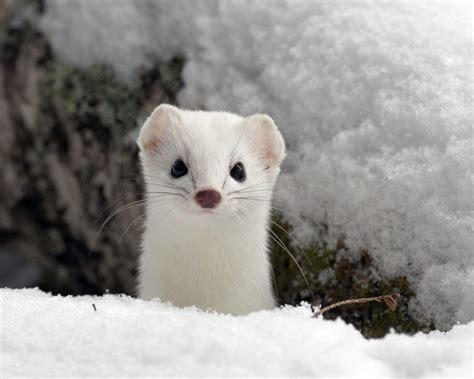 hermine bureau creature feature ermine resources council of maine