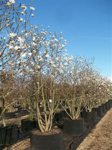 magnolia stellata magnolia