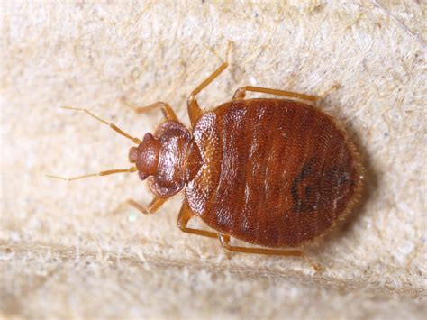 Bed Bugs by View Bed Bug Pictures In All Stages Zappbug