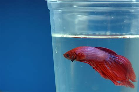 angry petitioners fight tiny betta fish cups fish care