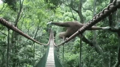 gibbon gifs find share  giphy