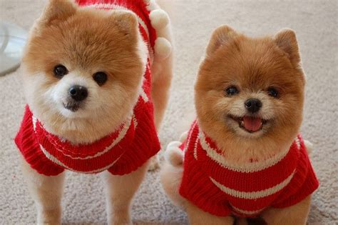 8 Best Images About Pomeranian Haircuts On Pinterest