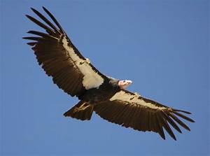Yurok Tribe Helps Bring Back California Condor