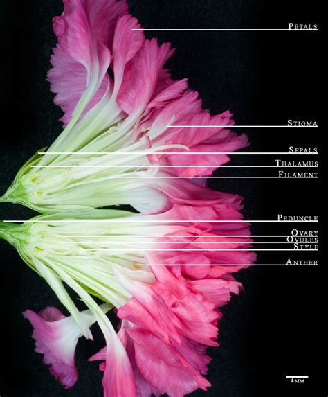 Carnation Anatomy Diagram flower anatomy