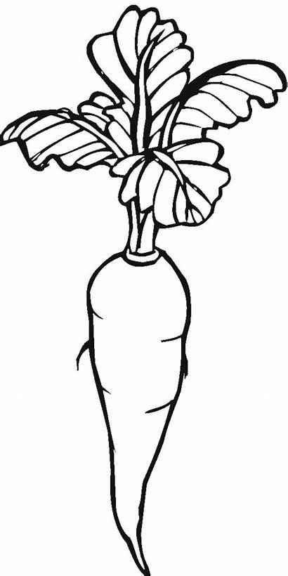 Carrot Drawing Coloring Pages Garden Line Carrots