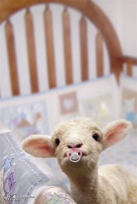 funny baby goat pictures  show