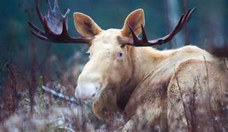 Rare White Spotted Moose