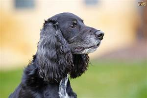 Fatty Cysts Or Sebaceous Cysts In Dogs