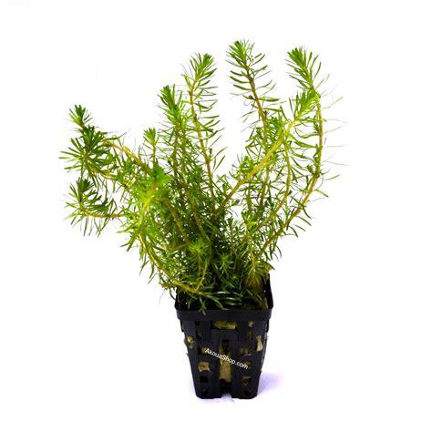 rotala wallichii plante d aquarium en pot de diam 232 tre 5 cm plantes d aquarium plantes hautes d