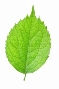 Single green leaf isolated over white background | Stock ...