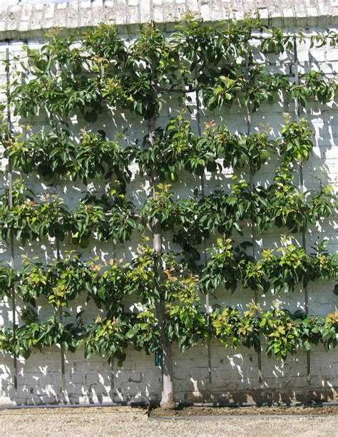 espaliered trees espalier wikipedia