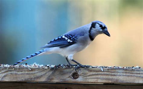 Cute Blue Jay Bird Wallpapers  1920x1200 538625