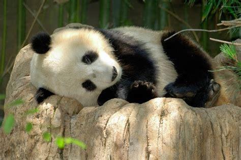 gambar panda lucu  asal usul panda ayeeycom