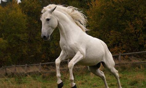 horse andalusian spanish animals spirit hd horses definition wild animal