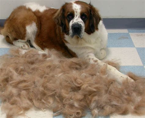 hair dogs that do not shed breeds with hair not fur breeds