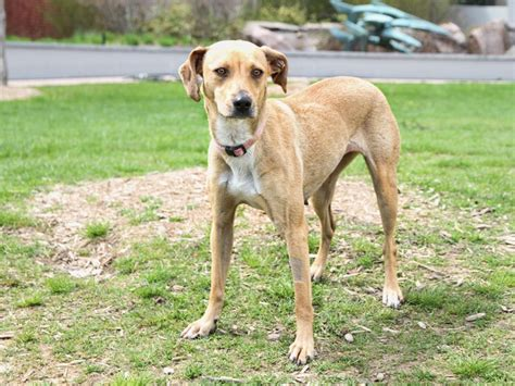 Whippet Lab Mix Weight Loss