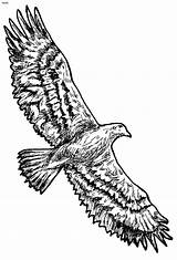 Coloring Flying Eagle Pages Bald Printable Hawk Totem Cartoon Poles Drawing Outline Clipart Eagles Clip Cliparts Pole Golden American Library sketch template